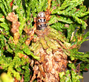 Peek-a-Boo!     Bagworm on an Arborvitae. Cocoons are difficult to see since they blend in so well with evergreen foliage.