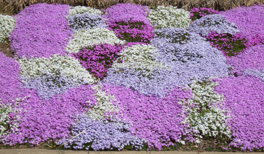 phlox-on-bank.jpg