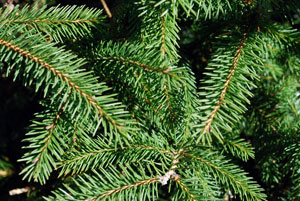 Norway Spruce branch tips