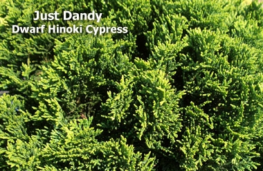 Chamaecyparis obtusa 'Just Dandy' - Dwarf Hinoki CypressGlobe shaped growth making it wider than tall, good for small spaces. Zone 5 hardiness. It was selected from the best seedlings of 'Nana Gracilis' in 1981.