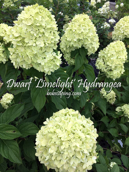 Hydrangea paniculata 'Jane' - Little Lime® Hardy HydrangeaDwarf form of the Limelight Hydrangea with attractive green summer flowers turning pink in Fall. Excellent for use in mixed borders or foundation plantings. Good for cut flower arrangements. Partial to full sun. Moderate growth rate to 3 feet x 5 feet tall and wide. Zone 3 - 9.