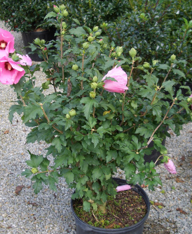 HIBISCUS syriacus 'Aphrodite' - Aphrodite AltheaCan be grown in sun or shade. Summer blooming shrub that is deer resistant. Growth to 8 ft tall x 6 ft wide.