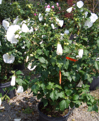 HIBISCUS syriacus 'Diana' - Diana AltheaCan be grown in sun or shade. Large white flowers are stunning on this summer blooming shrub that is deer resistant. Growth to 9 ft tall x 6 ft wide.