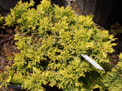 golden-creeping-juniper.jpg