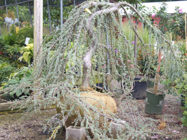 Cedrus libani atlantica 'Glauca Pendula' - Weeping Blue Atlas CedarGrow in sun to partial shade. Branches are staked and trained to create the height and shape. Silver-blue needles on weeping branches. Only cold hardy to Zone 6.