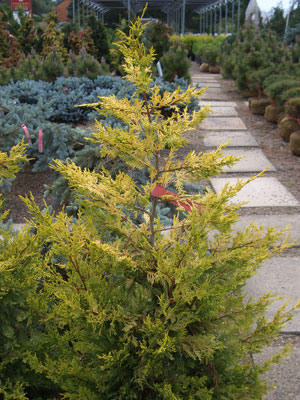 Cupressocyparis x leylandii 'Gold Rider' - Golden Leyland CypressSlow growing with a dense pyramidal shape. Bright gold foliage toward the branch tips. Partial shade to full sun.