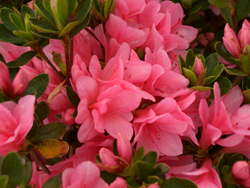 AZALEA 'Coral Bells' - Early blooming. Kurume azalea. Moderate growth to 4 ft tall x 5 ft wide. Best grown in partial shade with well drained, moist acidic soil high in organic matter.