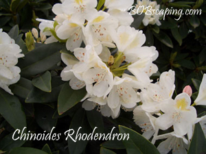 chinoides rhododendron