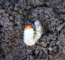 """GRUBS    """"C-shaped"""" Japanese Beetle grubs can cause extensive lawn damage by chewing off grass roots. The many different types of soil grubs are identified by the pattern of hairs on their rear ends which are known as """"rasters."""""""