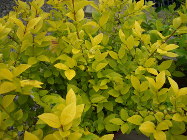 LIGUSTRUM x 'vicaryii' - Vicary Golden PrivetFast growth to 8 ft tall x 8 ft wide. Provides its best color when grown in full sun. This plant will often freeze back during record cold winters with polar vortexes in the Northeastern US.