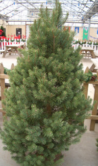 Scotch Pine   Pinus sylvestris