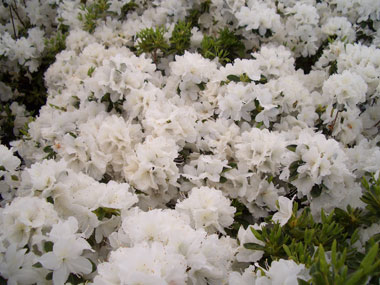 AZALEA 'Delaware Valley' - Delaware Valley AzaleaA popular white azalea in the Northeast. Grows to 4 ft tall x 4 ft wide. Trim within one month after it blooms. Protect from deer browsing in winter with deer netting.