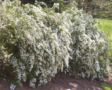 Spiraea vanhouttei - Bridal Wreath SpireaOne of the older varieties of Spirea is Bridal Wreath with its white flower clusters. Moderate growth to 8 feet tall x 8 feet wide. If you desire a similar look in a smaller size try 'Snowmound.'