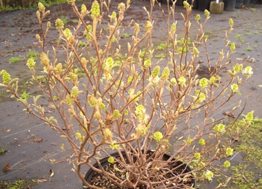 Fothergilla gardenii - Dwarf FothergillaGrow in full sun for best flowers, but can also be grown in partial shade. Slow growth to 3 ft tall x 4 ft wide. Fragrant, white bottle-brush flowers in spring before leaves appear. Fragrant, showy white blossoms in early spring, nice fall leaf color.