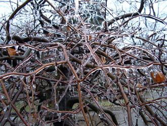Freezing rain builds-up heavy ice on tree branches