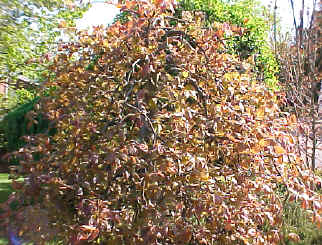 Fagus sylvatica 'Purpurea Pendula' - Weeping Purple BeechSlow growth to 15 ft. Great branching interest and color splash!