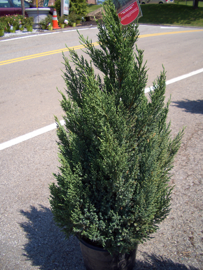 Juniperus chinensis 'Blue Point' - Blue Point JuniperPyramidal shaped, upright evergreen with blue-green foliage. Good as an accent or tall screen, requires little trimming. Grow in full sun, can be used as a topiary. Tolerates poor soil and heat. Grows to 12 feet tall x 8 feet wide. Zone 4 to 9.