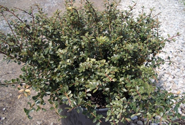 Ilex crenata 'Helleri' - Helleri HollyCompact evergreen shrub with slow to moderate growth in Zone 6 to 9 for use in hedges, masses or foundation plantings. Grows 3 ft tall and 4 ft wide in full sun to partial shade. Flowers attract bees.