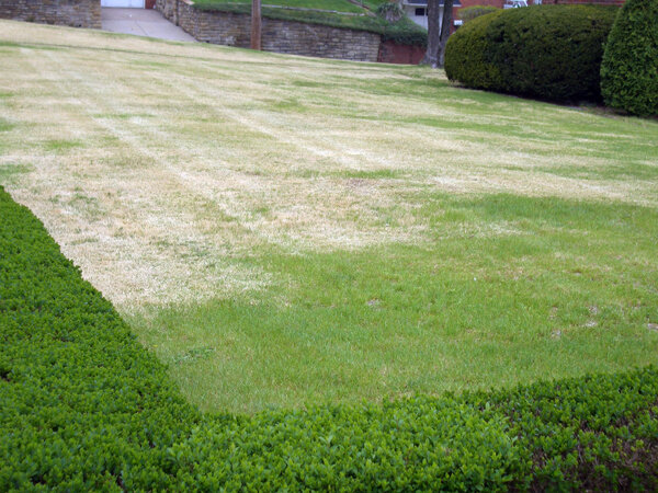 Zoysia stays brown for a large portion of the year in northern US climates.