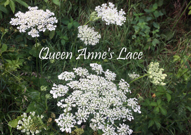 "Queen Anne's Lace blossoms are ""flatter"" and less rounded."
