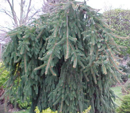Picea abies pendula - Weeping Norway SpruceA hardy, evergreen weeper that gets broader than it does tall. Watch for spider mites.