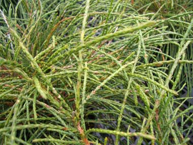 Thuja plicata 'Whipcord' - Whipcord ArborvitaeGlossy evergreen foliage grows with a pendulous effect like a mop. Grows to 5 ft. tall x 4 ft. wide.