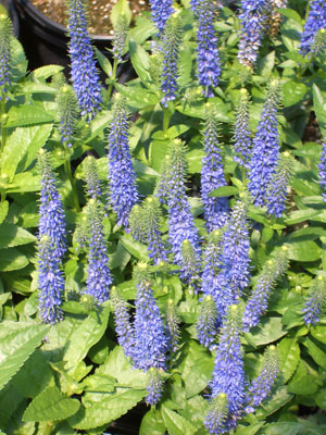 VERONICA 'Royal Candles' Royal Candles - Violet-blue flower spikes in late spring. Full sun to part shade with growth to 20-inches tall.