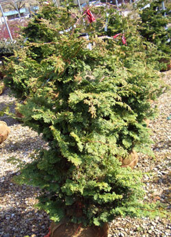 Chamaecyparis obtusa 'Gracilis' - Hinoki FalsecypressExcellent evergreen specimen for the home landscape or garden. Slow pyramidal growth to 10 feet tall.