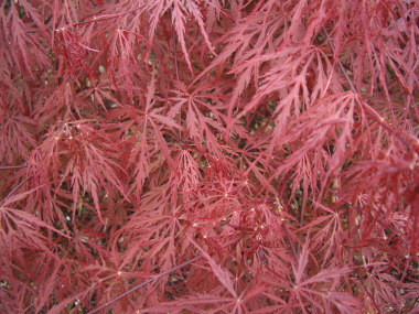 Acer palmatum dissectum - Cutleaf Japanese MapleSmall, slow growing specimen trees, wider than they are tall.Red leafed varieties are the most popular, but green is nice as well. Protect from late spring frosts!