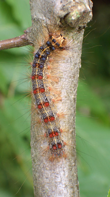 """GYPSY MOTH    Easily identified by its double row of red and blue dots, this caterpillar is one of the most destructive forest pests in the US, defoliating trees (Oak & Aspen are favorites). Biological controls Bt and """"Gypchek"""" are used for control."""