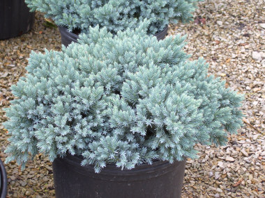 Juniperus squamata 'Blue Star' - Blue Star JuniperExcellent, compact evergreen maintains its shape without trimming. Bright blue foliage. Grow in full sun.