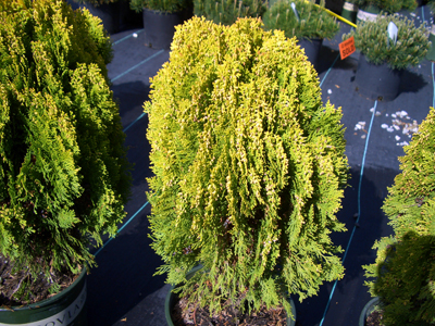 Thuja orientalis 'Aurea Nana' - Dwarf Golden ArborvitaeCompact, dwarf evergreen with a pointed globe shape that requires minimal pruning. Bright yellow foliage becomes bronze in winter. Full sun to partial shade. Zone 6 to 9.