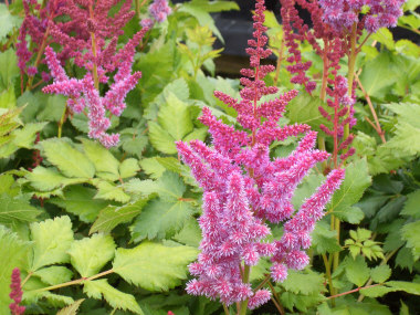 ASTILBE Meadow Sweet - This deer-proof perennial prefers moist soil in partial shade. Harvest for cut flowers when they are half open.