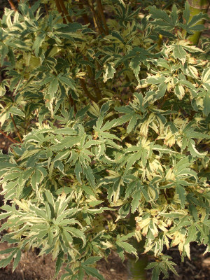 Acer palmatum 'Butterfly' - Butterfly Japanese MapleGrow in sun to partial shade. Slow upright growth to 12 ft tall x 12 ft wide.