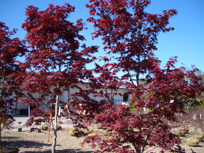 Acer palmatum 'Wolff' - Emperor I® Japanese MapleDark red foliage turning scarlet in Fall. Nice tree for small landscape gardens. Grow in part to full sun, it shows its best color in full sun. Zone 5 - 8.