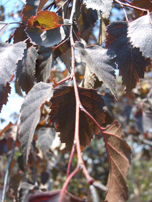 Betula nigra 'Crimson Frost' - Crimson Frost BirchRarely seen Birch with crimson leaves and a medium growth rate. Prefers full sun.