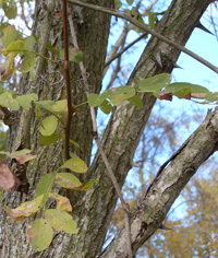 Black Locust only rates 30% in species value.