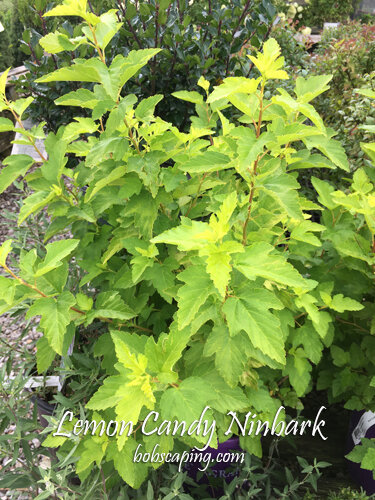 PHYSOCARPUS opulifolius 'Podarus 3' - Lemon Candy NinebarkGrow in full sun. 3 feet tall x 3 feet wide. Bright yellow-chartreuse in Spring with small white blooms. Heat and drought tolerant with maturity. Hardiness to Zone 2 .