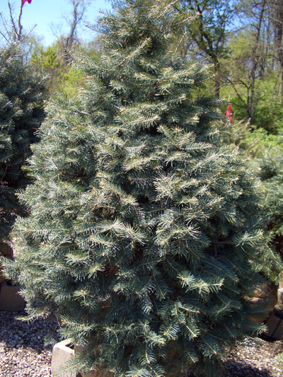 Abies concolor - White FirPrefers cooler climates, soil with good drainage. Best fir choice for US midwest. Grow in full sun to partial shade, but full sun is best. Growth to 70 feet tall x 30 feet wide. Zone 3 to 7.