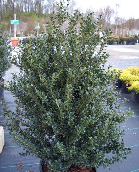Ilex crenata 'Steeds' - Steeds Upright HollyDense, pyramidal evergreen with dark green foliage. Use in hedges or foundation plantings. Zone 6 to 9. Growth to 8 ft tall and 6 ft wide in full sun to partial shade.