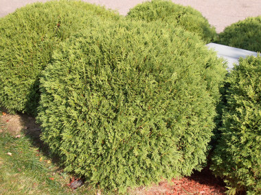 Thuja occidentalis 'Woodwardii' - Globe ArborvitaeRounded shrub with dark evergreen foliage. Light shearing gives arborvitae additional strength and shape. Watch for deer browsing on most arborvitaes.