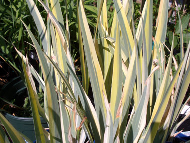 IRIS pallida 'Aureo Variegata'Gold Variegated Sweet Iris - Variegated foliage adds interest to this Iris even when it's not blooming. Full sun to part shade. Tolerates wet soil very well.