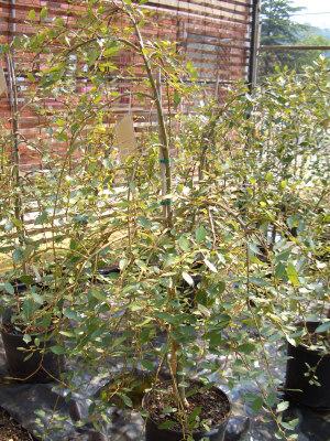 Salix caprea 'Kilmarnock' - Weeping Pussy WillowGrow in sun to partial shade. Unique rounded growth habit to 10 ft tall x 10 ft wide. Tolerates adverse conditions but may be short lived.