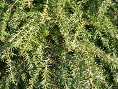Healthy Hemlock needles are completely green, not bleached-out at the base of each needle. Mite damage will be most evident on inner branches and the older needles.