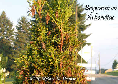 Bagworm damage on an Arborvitae.     At this late stage is when the damage becomes all too apparent on an arborvitae.
