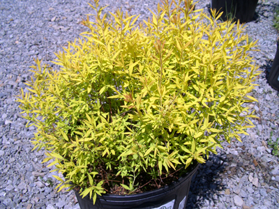 Spireae thunbergii 'Ogon' - Spirea Mellow YellowYellow foliage with small white flowers in early Spring, turning bronze in fall. Grow in full sun to partial shade. Grows to 5 feet tall x 5 feet wide. Zone 4 to 8.