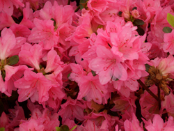 AZALEA 'Tradition' - Mid-season bloom. Kurume azalea. Moderate growth to 4 ft tall x 5 ft wide. Best grown in partial shade with well drained, moist acidic soil high in organic matter.