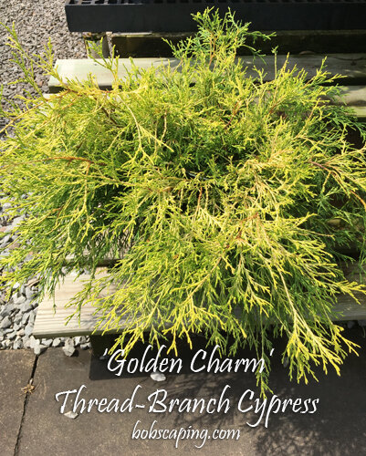 Chamaecyparis pisifera'Golden Charm' - Golden Charm Thread-Branch CypressFull sun. Grows 6 feet tall x 8 feet wide. Nice color accent that is deer resistant. Zone 4 - 8