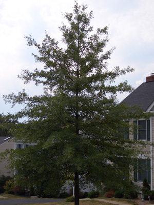 Quercus palustris - Pin OakPopular oak used for commercial and home landscaping due to its faster growth than most oaks. Pyramidal growth to 75 feet tall x 35 feet wide. With age, the lower branches droop and must be removed to maintain clearance for pedestrians and vehicles. Drops most of its leaves in the fall and the rest in early spring.