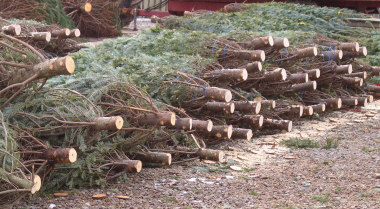 Trees bundled, stacked and ready to sell at a Christmas tree sales lot. Some trees may have been cut weeks before your purchase, so shake the tree to see if there is excessive needle drop. Try to find one with minimal to no needle drop.